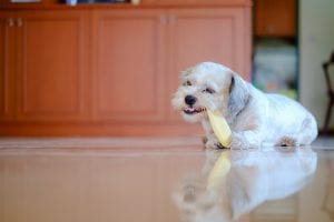 Cutely white short hair Shih tzu dog is happy to gnaw at a mango seed at home for pet concept