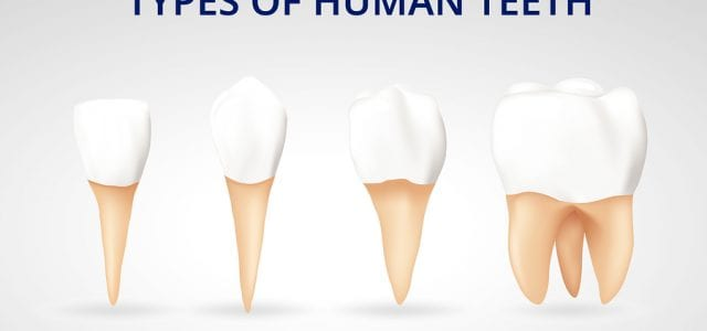 Different types of human teeth including incisors, canines, premolars, and molars